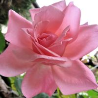 2⃣🌹これがバラの花と言わんばかりの形...