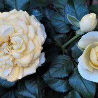 黄色いミニバラの花...咲いた順番による...