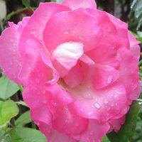 🌻ストロベリーアイスの花の拡大撮り...