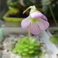 早春の花 エセリアナ