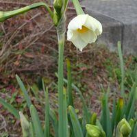 畑の斜面の日本水仙が咲きました。 12...