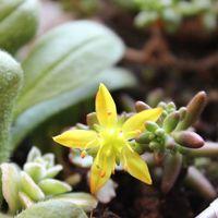 セダムの黄色い小花💛初見え