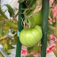 培養土のトマトの上の方の実が支柱に挟...