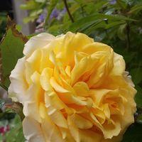 「ミニバラ コルダナローズ」黄色いお花...