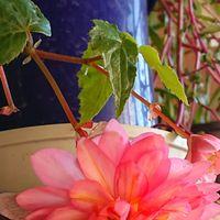 球根ベゴニアです。  花が重くて下に咲...