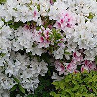 ツツジです。  白色の中にピンクの花の...