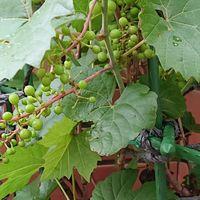 プランター栽培のミニブドウです。  実...