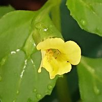 ミゾホオヅキです。  1センチ位の花です...