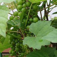 プランター栽培のミニブドウです。  沢...