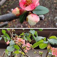 バラ科落葉低木『ボケ』四季咲き咲き分け種