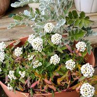 花壇でこぼれ種で増えているアリッサム ...