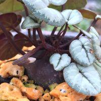 原種シクラメン コウムの花が、もう少し...
