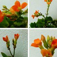 夏超し中に開花したオレンジの『カラン...