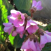 ヒマラヤユキノシタが咲きました