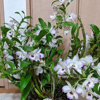 4月 デンドロビウム 毎年 良く咲いてく...