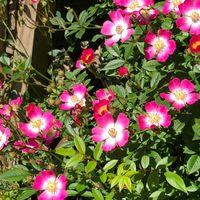 つるミニバラ 安曇野②  花は小さくて可...