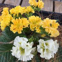 黄色いジュリアン 白っぽい花が咲きまし...