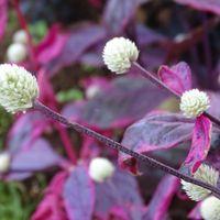 アカバセンニチコウ 白い花と赤い葉っぱ...