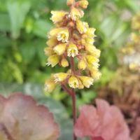 ヒューケラ ブロンディ  花が多い品種と...