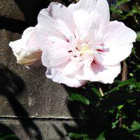 木槿 むくげの八重