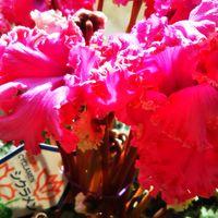 シクラメン フリルのような花びら💠