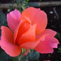 薔薇「夢で逢えたら」。 ロマンティックな...
