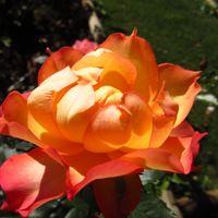 薔薇「常夏娘」。 可愛らしい名前がピッタ...
