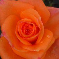 薔薇「常夏」。 夏らしいイメージピッタリ...