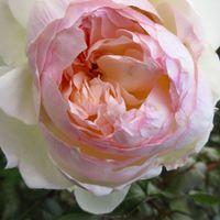 薔薇「ボレロ」。  10月24日、京成バラ園...