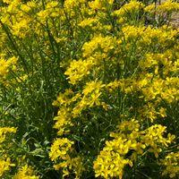 水菜の花です😃 種いっぱい採れそう😃
