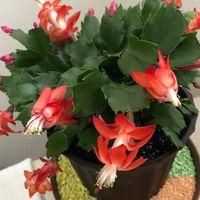 昨年末、初めて買った観葉植物。 シャコ...