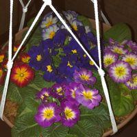 家の花壇に植えてあるプリムラジュリア...