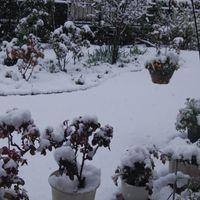 3/29 朝から雪が降っています⛄ 蕾がつき...