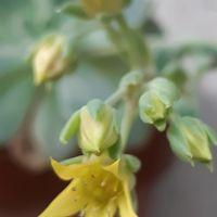名前不明のエケベリアに今年もお花が咲...