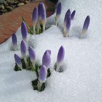 ある早春のクロッカス!雪の中でも元気...