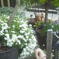 白いアレナリアの花はこぼれ種から芽を...