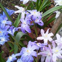 チオノドクサは、淡いいろいろな色の花...