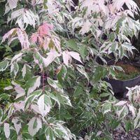 ネグンドカエデ 斑入りの葉っぱの芽吹き...