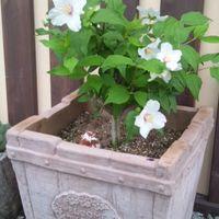 梅花ウツギ ベルエトワールの白い花は、...