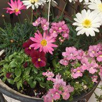 春の寄せ植え。 ピンク系でまとめてみま...