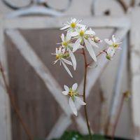 ダイモンジソウ 清楚な白い花いいですね...