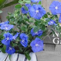 アメリカンブルー 切り戻しの切り花を飾...