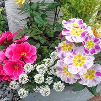 寄せ植え4 苦手なプリムラが順調に花を...