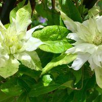 美登利の2番花が咲き始めました😊🍀