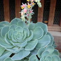 エケベリアと思われる、見事に開花です。