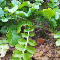 種から育て、間引きした苗をブロッコリ...