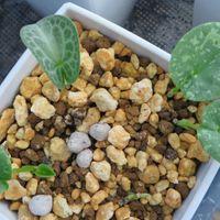 細辛の色々品種の新芽たちです 斑芸がは...