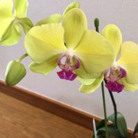 この胡蝶蘭の色が好きです。