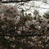 戸塚 舞岡公園小川のほとり 五分咲き  ...