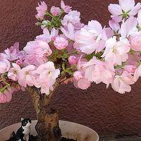 旭山桜、満開です。 まだブームになる8...